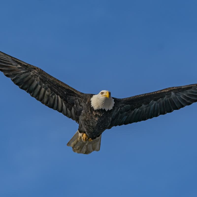 American Bald Eagle Foundation Haines Alaska